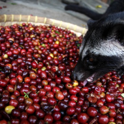 100% Vietnam civet coffee (Robusta)