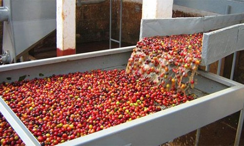 Chế biến ướt cà phê bằng chế phẩm Enzyme