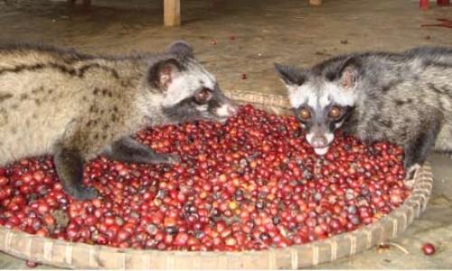 Tham quan trang trại cà phê chồn tại Lâm Đồng