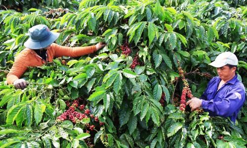 Giảm lượng khí thải Carbon - Xu thế phát triển cà phê của Việt Nam trong tương lai