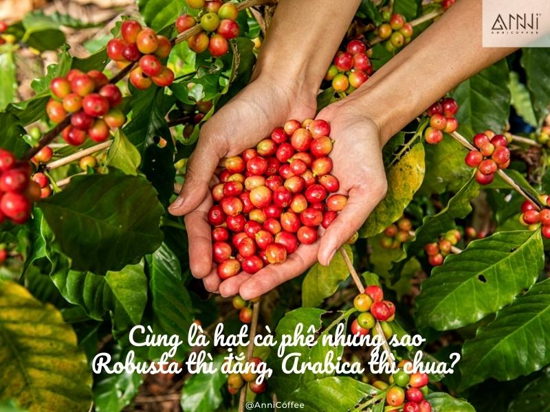 robusta arabica anni coffee